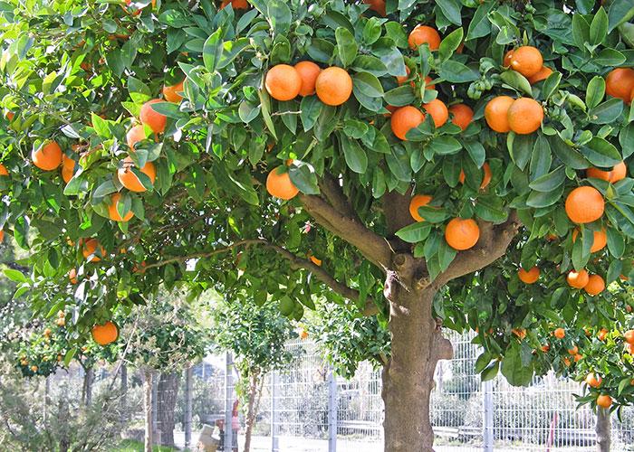 Image Courtesy Of Shelllumber Fruit Trees